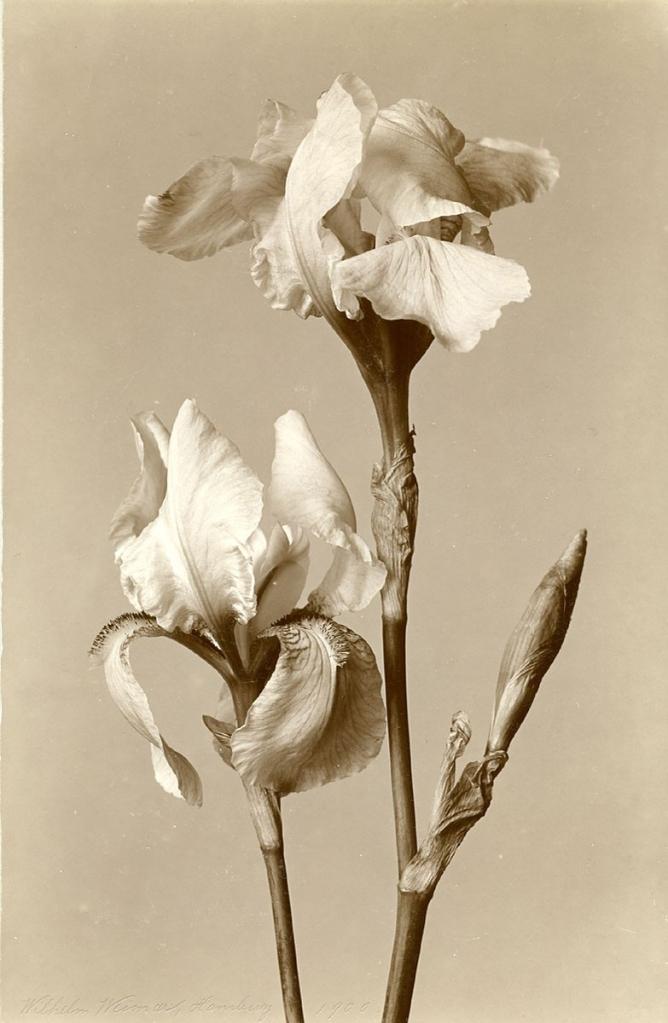 Iris by Wilhelm Weimar