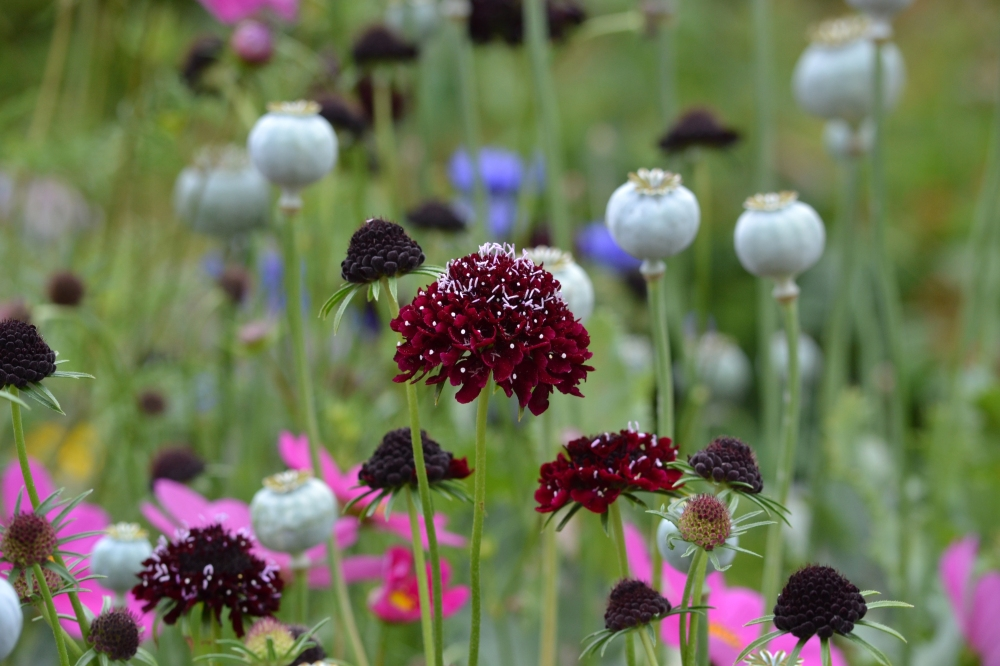 Poppy seed heads and scabious