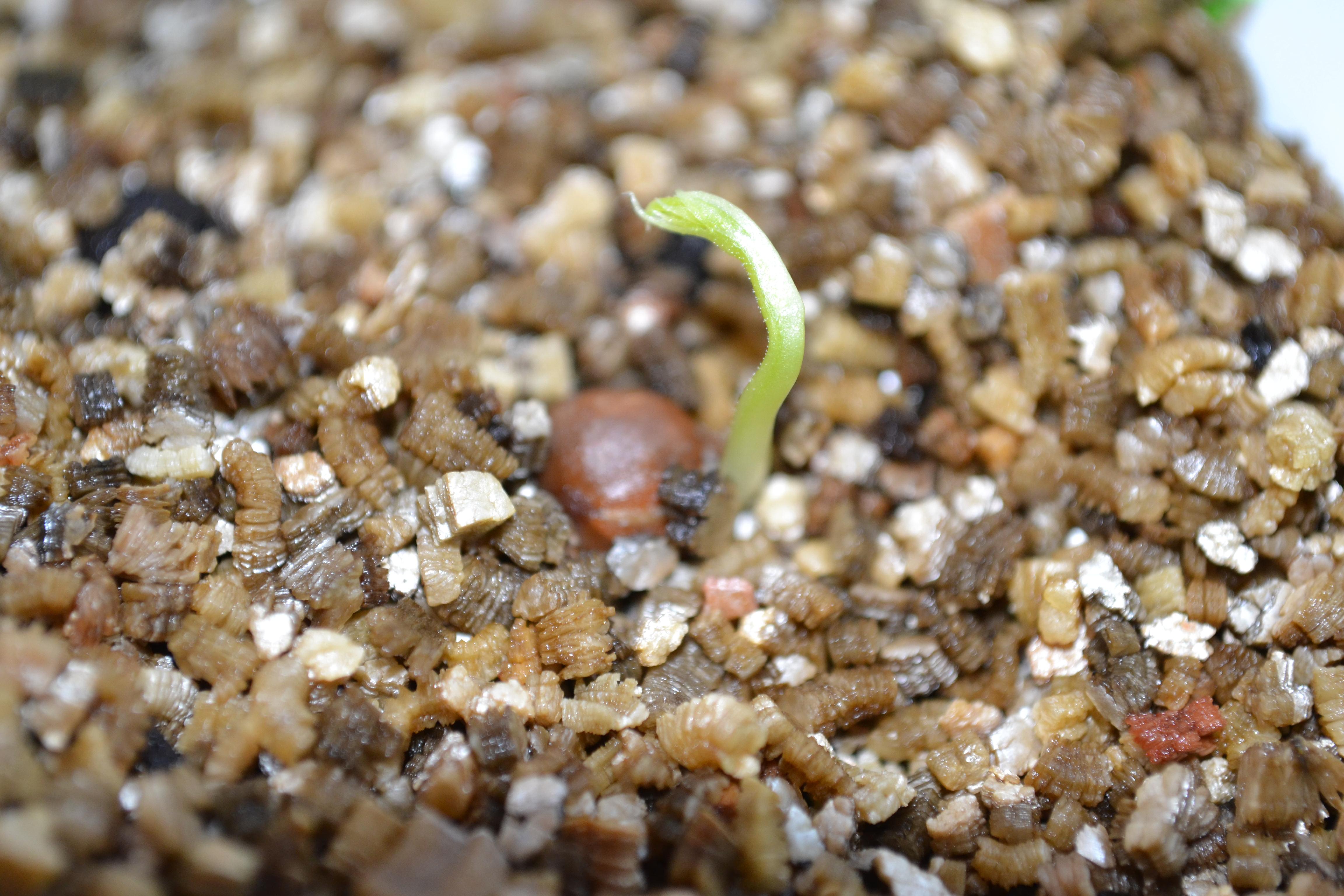 Sweet pea seedling © Florilegia