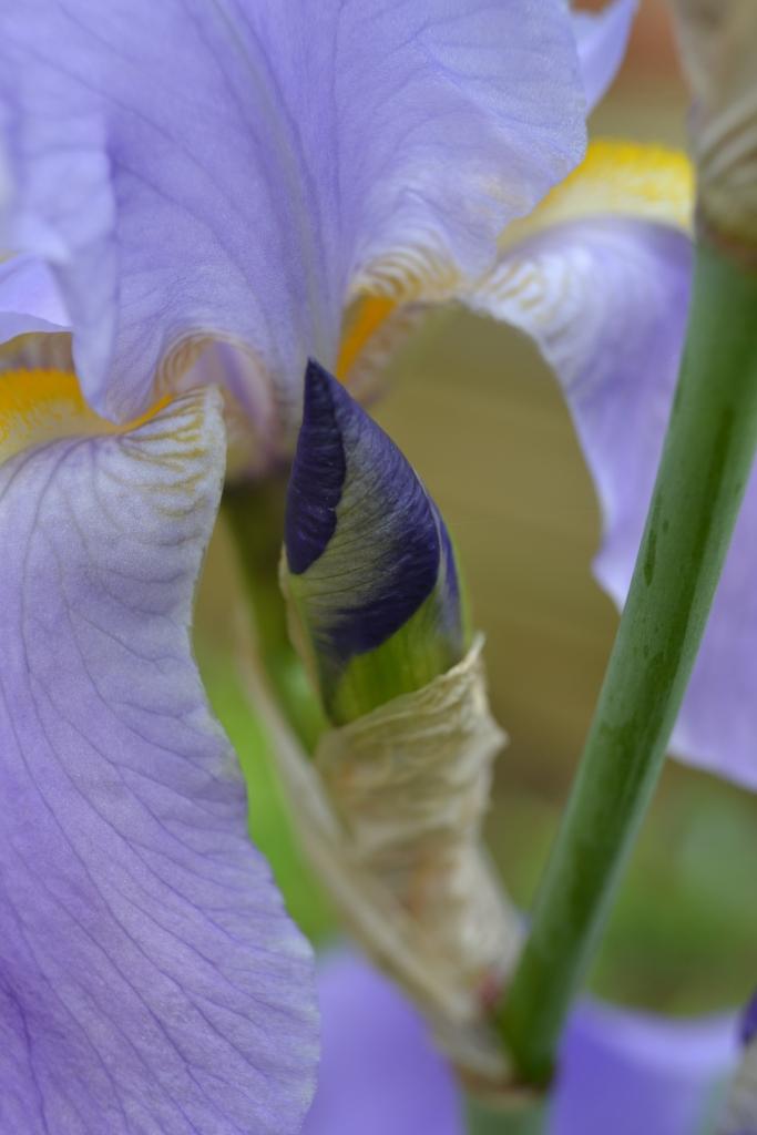 Iris Germanica © Florilegia