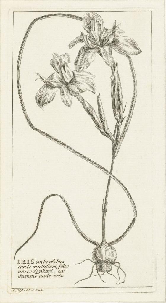 Iris by Abraham Delfos