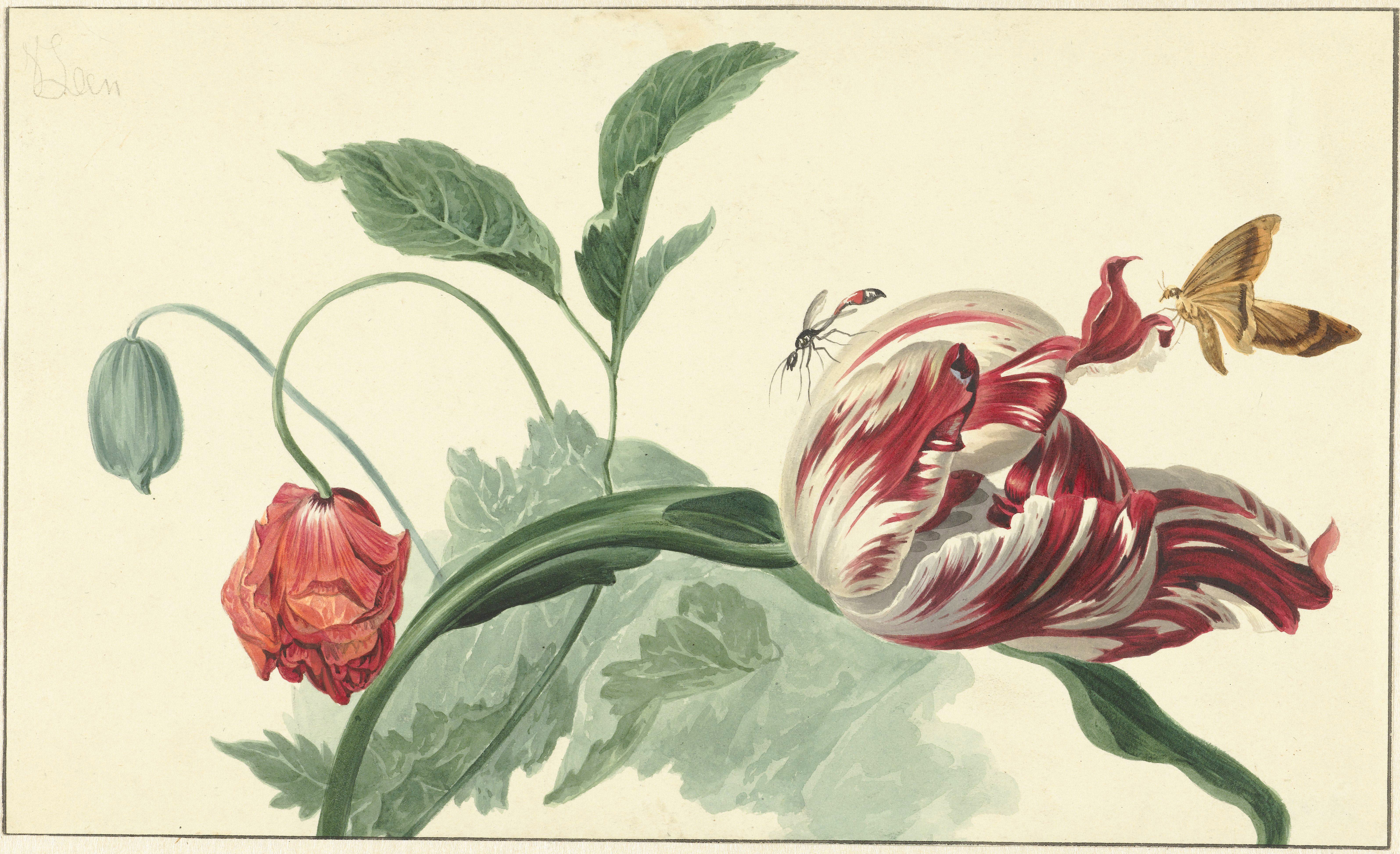 Tulip and a Poppy