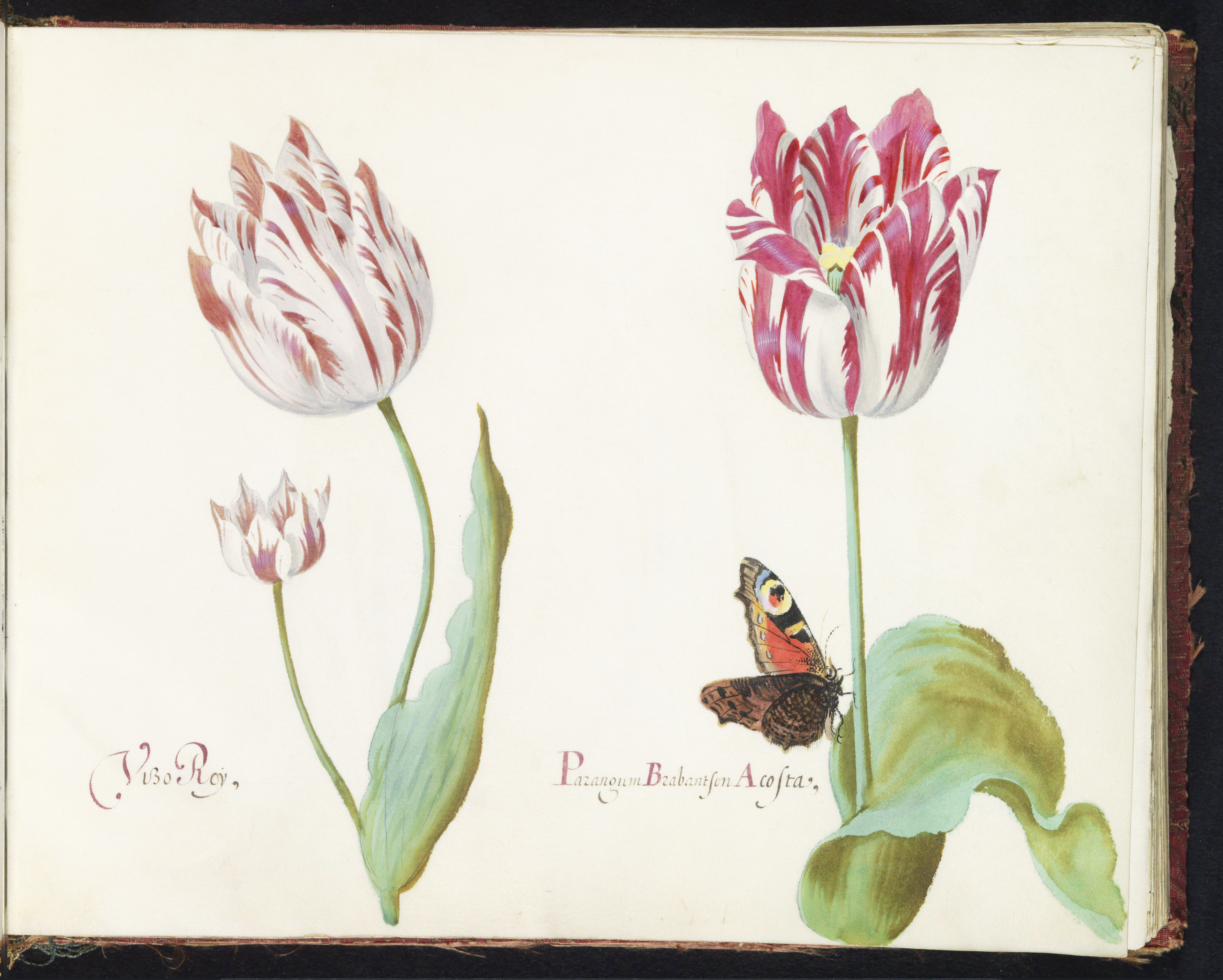 Tulips and butterfly