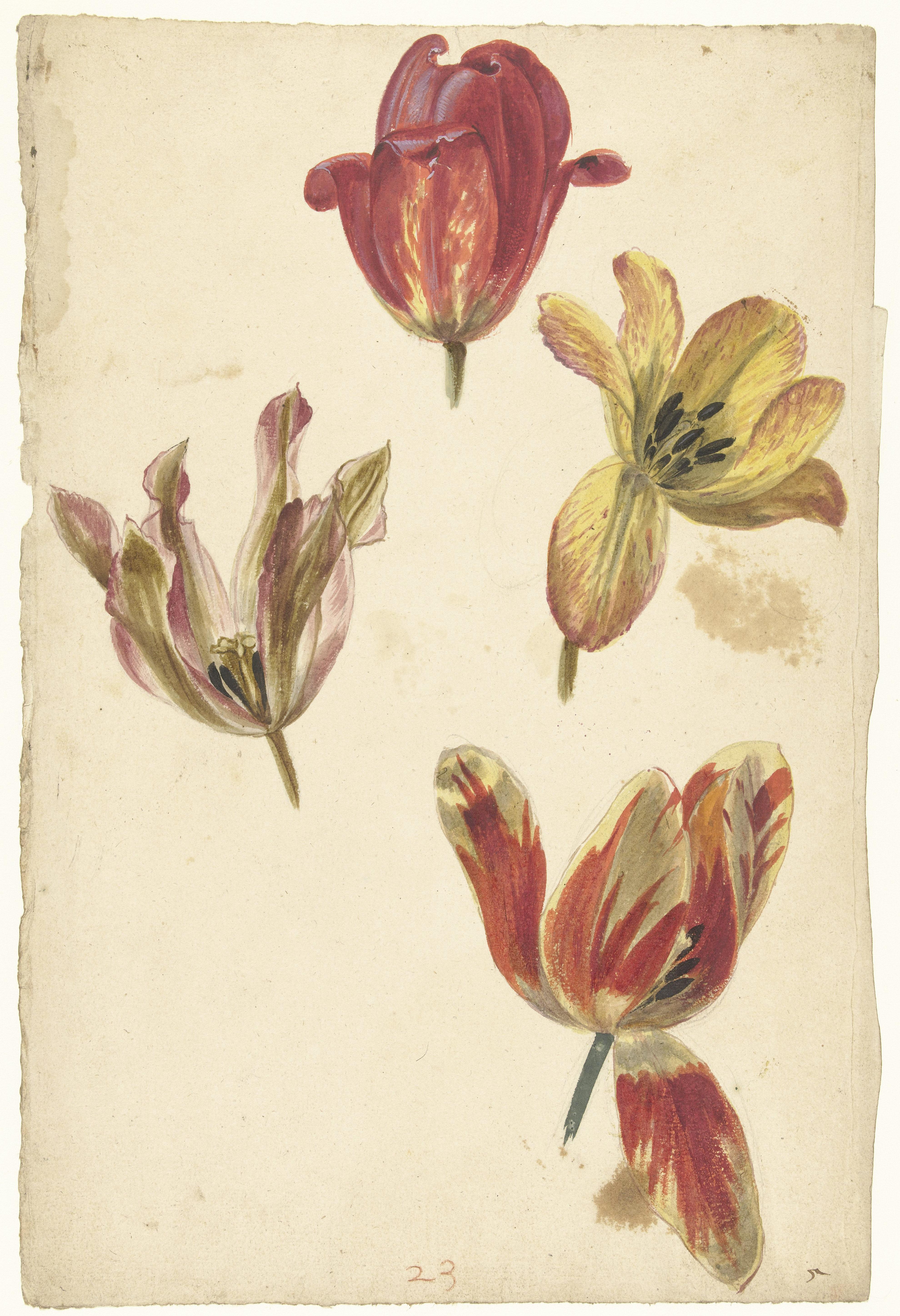 Studies of Four Tulips