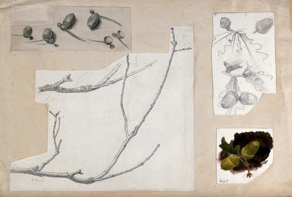 Acorns and twigs of oak